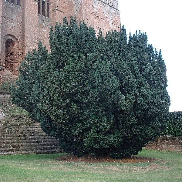 English yew taxus baccata for Garden yew trees