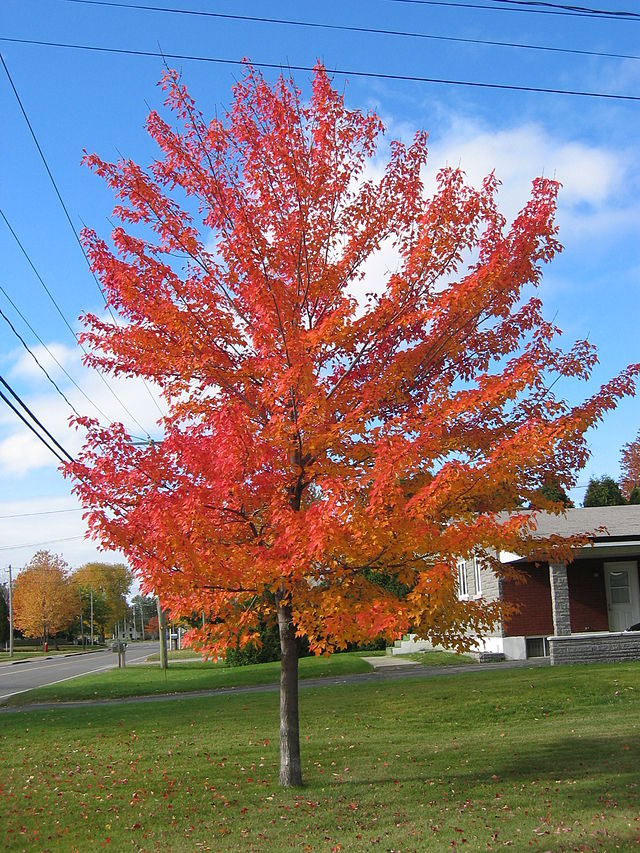 Red Maple Acer Rubrum