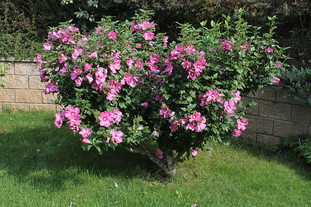 Double Rose Bush