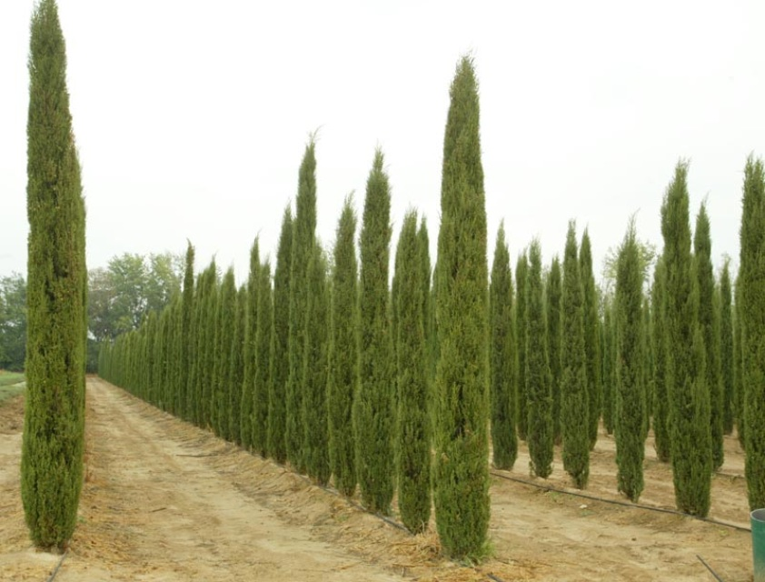 italian cypress cupressus sempervirens 39 stricta 39. Black Bedroom Furniture Sets. Home Design Ideas