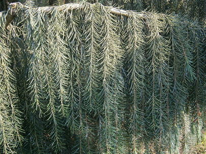 Brewers Weeping Spruce Picea Breweriana