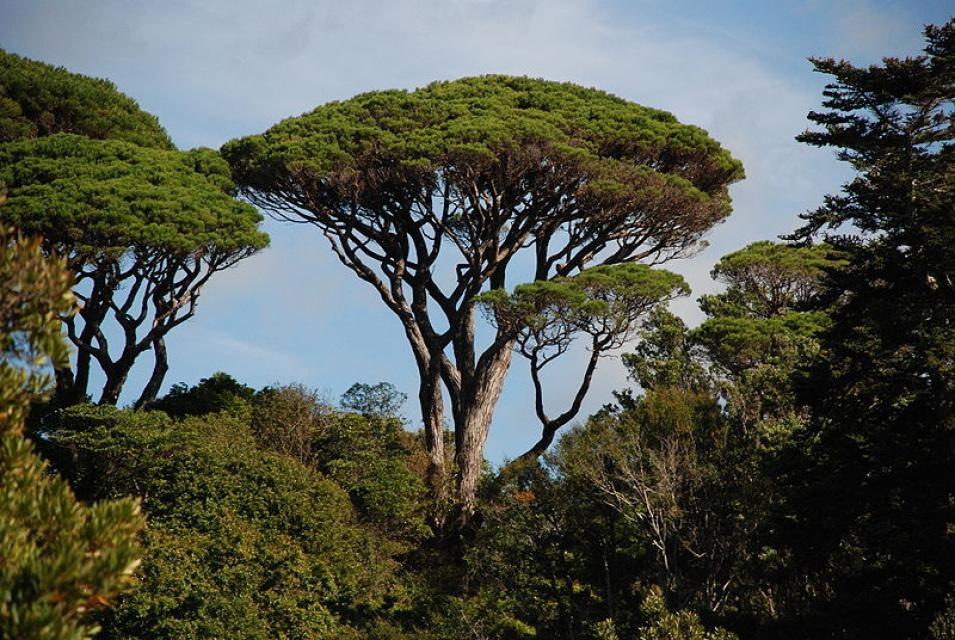 Stone pine umbrella pine pinus pinea for Arboles de hoja perenne para jardin