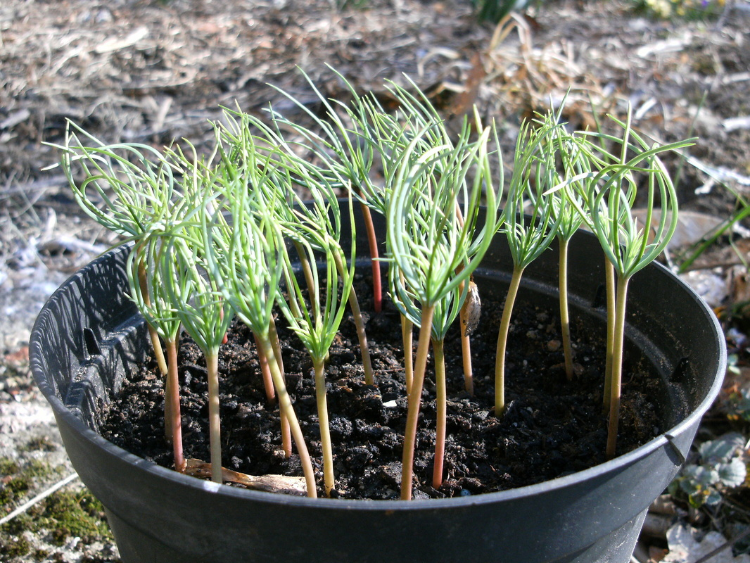 Cedrus deodara seedlings at 5 weeks old